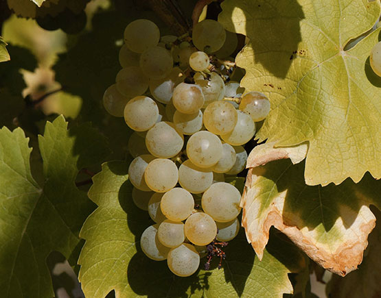 Armagnac-Claverie-grape-folle-blanche